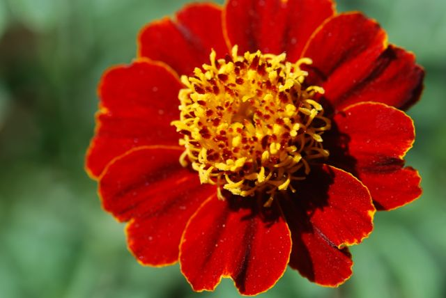 regular-marigold-garden