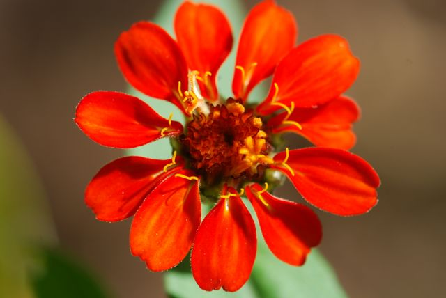 young-red-zinnia-flower-19