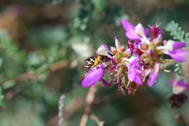 bee-in-flower097
