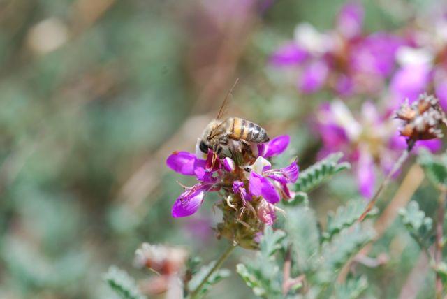 honey-bee-_0103