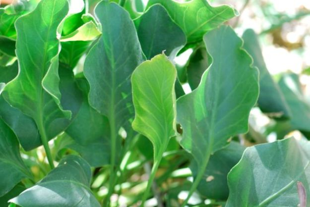statice-leaves_0161