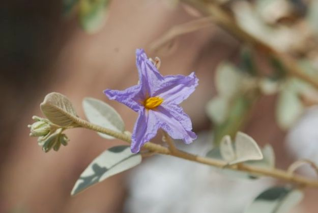 sonoran-nightshade-with-leaves-66