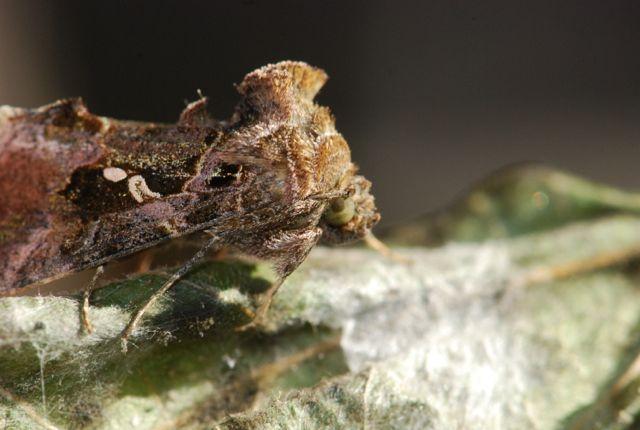 cabbage-looper-moth
