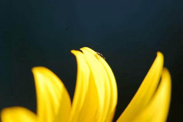 little-wasp-on-sunflower-13