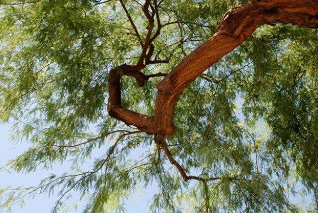 mesquite-tree-chilean-045