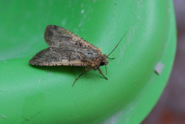 noctuid-moth-60