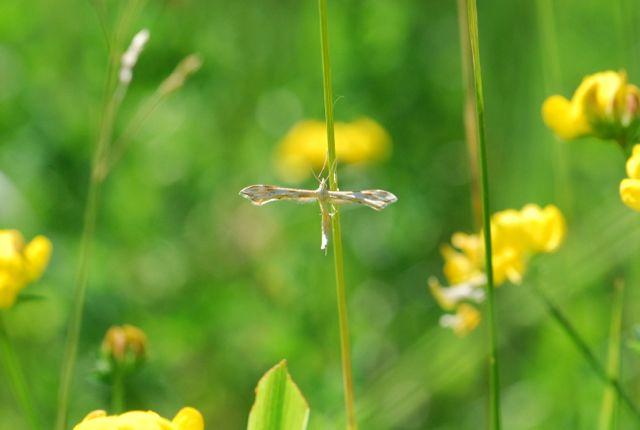 plume moth1