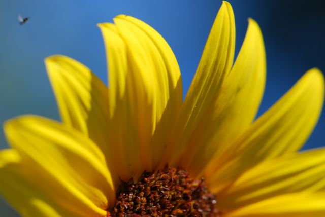 sunflower-wasp-flying-0006