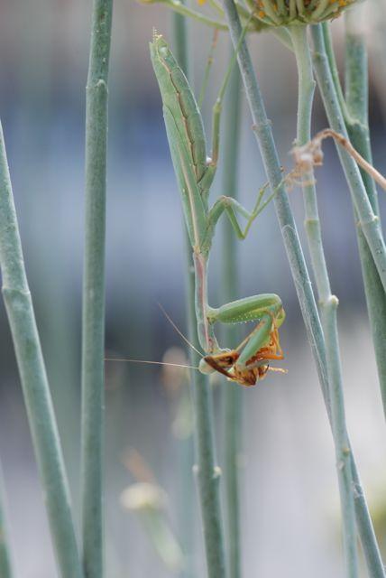full-praying-mantis-and-paper-wasp