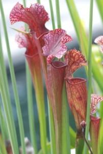 pitcher-plant-11