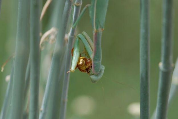 praying-mantis-feeding-on-paper-wasp-364