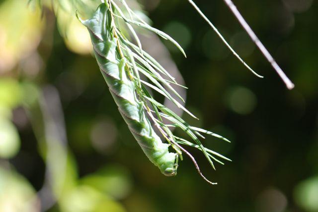 1-Manduca-rustica-caterpillar- 338