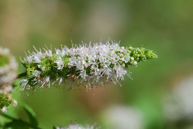 mint-flower -spear-81