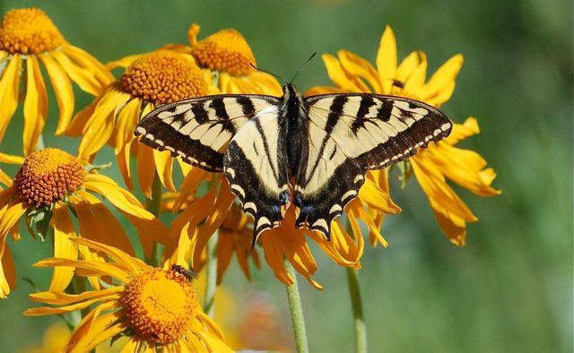 swallowtail-on-flower