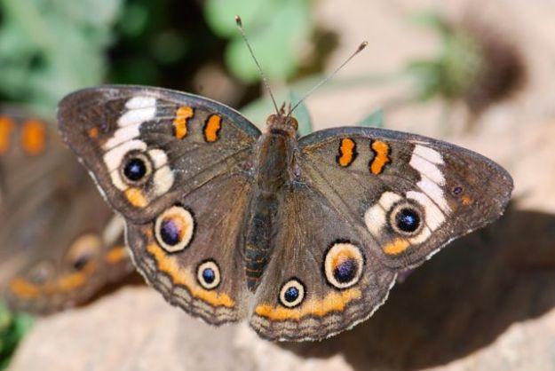 buckeye-butterfly-dbg-4