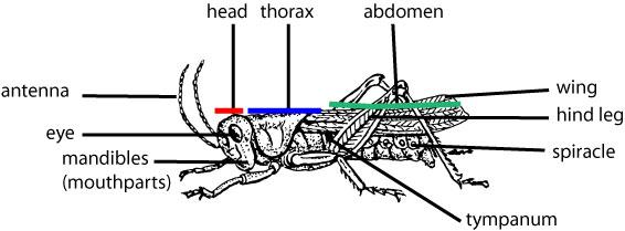grasshopper-anatomy