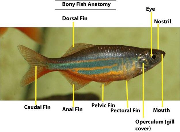 Fish-anatomy