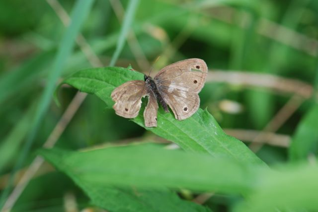 wood-nymph-tattered-wings