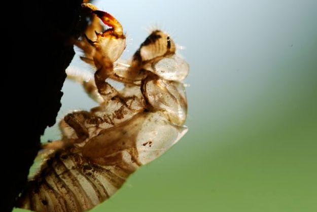 cicada-nymph-extreme-close229