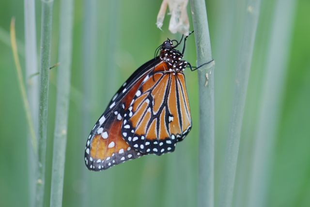 freshly-emerged-queen-butterfly