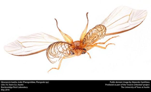 glowworm-beetle-male