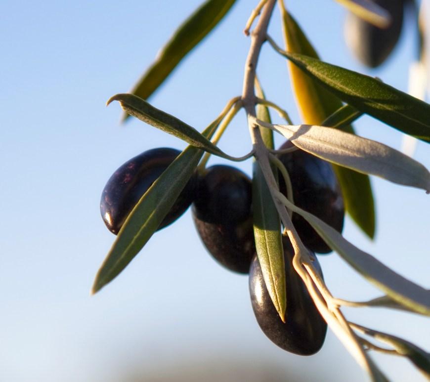 rama-de-olivo