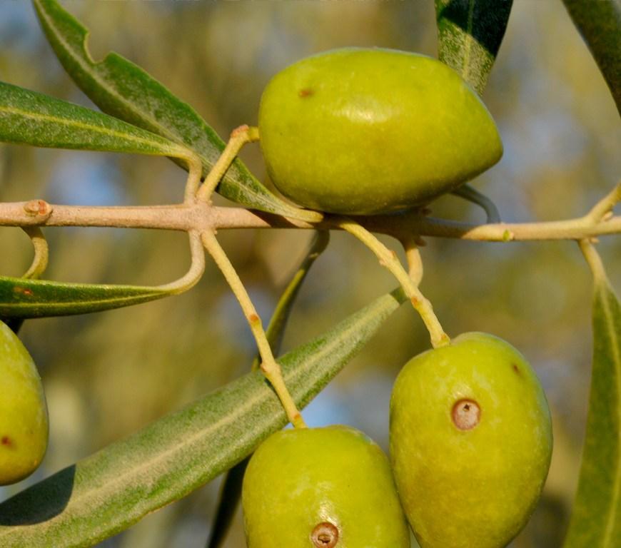 mosca-del-olivo-cabecera