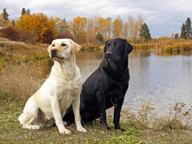 labrador-retriever-wallpapers-4