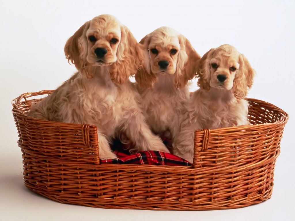 cocker-spaniel-puppies