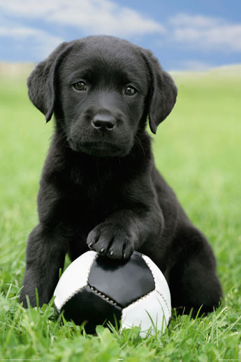 dog-labrador-football-i8399