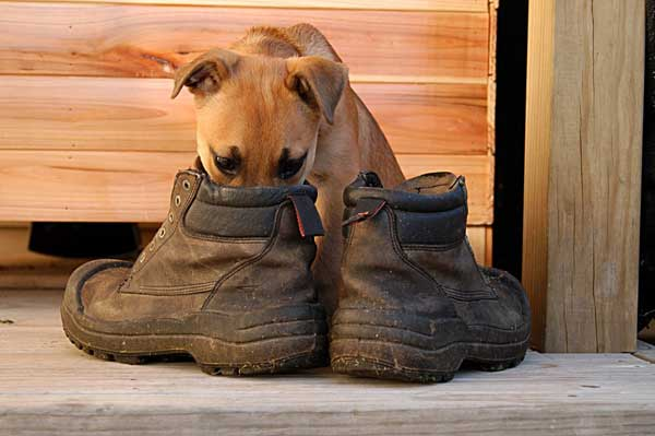 dog-smelling-boots