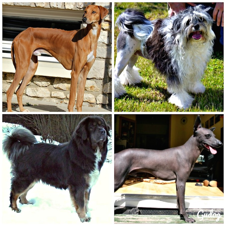 10 races de chiens rares que l 39 on ne croise pas tous les jours gublog gudog fr blog. Black Bedroom Furniture Sets. Home Design Ideas