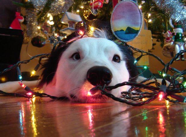 noël sans danger chien lumières