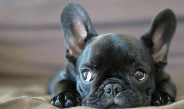 le-bulldog-francais
