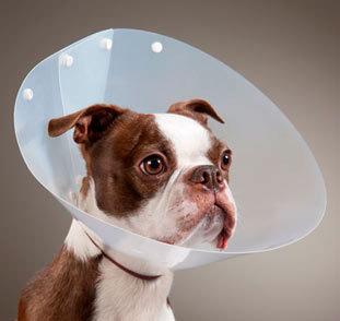 stérilisation chiennne