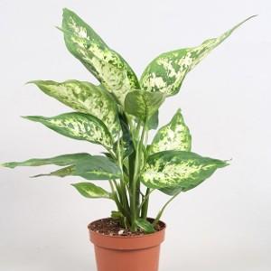Dieffenbachia plantas tóxicas para los perros