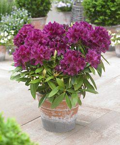 Rhododendron azalée plantes toxiques pour les chiens