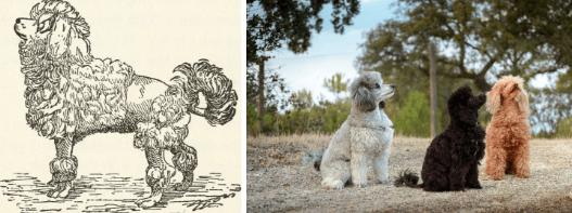 caniche races de chiens