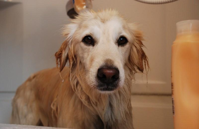 conseils bien laver un chien