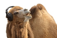 Humorous shot of a camel listening to music and singing along