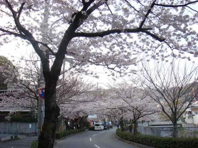 神戸 宇治川沿いの桜