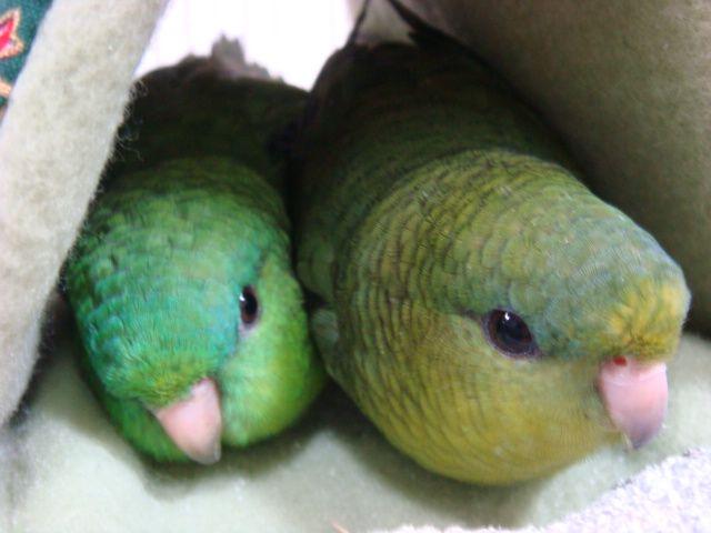 緑のお団子