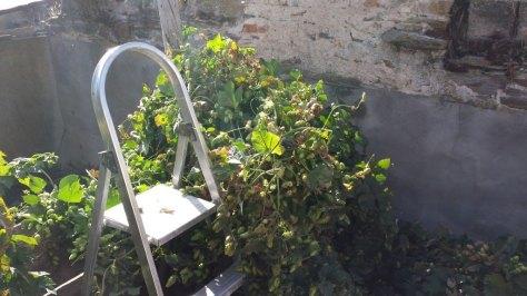 El montón de planta de lúpulo en el suelo