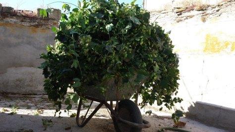Carretilla llena de lúpulo Cascade