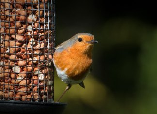 red-breasted-robin-and-peanuts