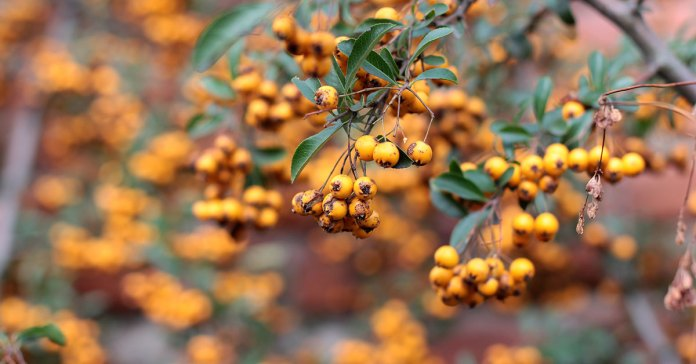 yellow-Pyracantha
