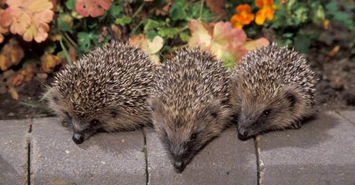 An array of hedgehogs