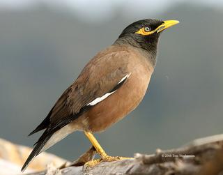 Common brown mynah