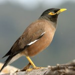 Common brown mynah