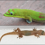 Two species of Hawaiian geckos